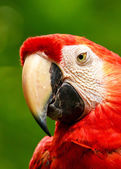 Portrait of colorful Scarlet Macaw parrot — Stock Photo