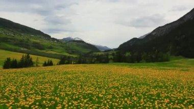 Flower field in St. Moritz — Stock Video