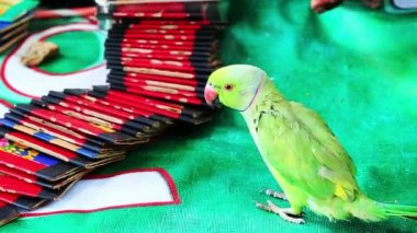 Green fortune-telling parrot — Stock Video