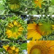 Sunflower growth stages — Stock Photo #56508433