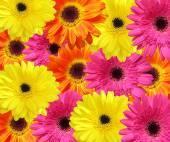 Background of gerbera flower — Stock Photo