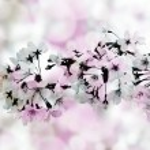 Beautiful cherry blossoms — Stock Photo #77110911