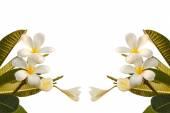 Plumeria flower isolated on white background — Stock Photo