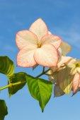 Różowy kwiat Dona Luz (Queen Sirikit) z nieba — Zdjęcie stockowe