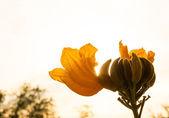 Flower of african tulip tree with sunlight — Stockfoto