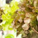 Red oak lettuce — Stock Photo #66013049