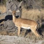 Portrait of wild impala ram — Stock Photo #55674431
