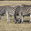 Zebras grazing grass in the african savannah — Stock Photo #55682419