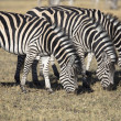 Zebras grazing grass in the african savannah — Stock Photo #55682421