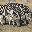 Zebras grazing grass in the african savannah — Stock Photo #55682425