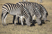 Zebras grazing grass in the african savannah — Stock Photo