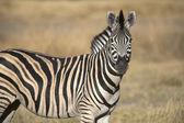 Portrait of wild zebra — Stock Photo