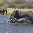 African elephants bathing in a river — Stock Photo #55758633