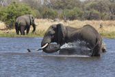 African elephants bathing in a river — Stock Photo