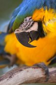 Portrait of a Blue-and-yellow Macaw (Ara ararauna) — Stock Photo