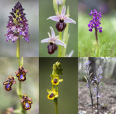 Common wild orchid flowers of western Europe — Stock Photo