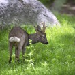 Male roe deer in green background — Stock Photo #73294625