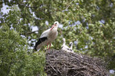 European white stork with chicks in its nest — Stock Photo