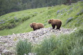 Portrait of wild brown bear in its habitat — Stock fotografie