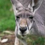 The red kangaroo female closeup (Macropus rufus) — Stock Photo #55939233