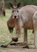 The red kangaroo  (Macropus rufus) — Photo