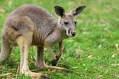 The red kangaroo female  (Macropus rufus) — Photo