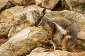 Australian Rock Wallaby — Stock Photo