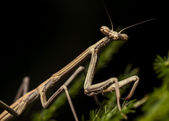 Praying Mantis (Juvenile) — Foto de Stock