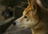 Dingo (Canis lupus dingo), Closeup — Stock Photo
