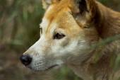 Dingo (Canis lupus dingo), Closeup — Stock Photo