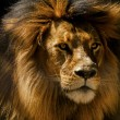Lion Male Closeup — Stock Photo #58647147