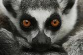 Ring-Tailed Lemur Closeup — Stock Photo