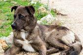 Cão de olhos azuis — Foto Stock