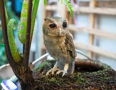 Baby Long Eared Owl Perching — Stock Photo