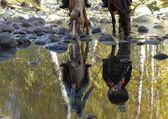 Reflection of Horses drinking  — Stock Photo