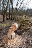 Tree felled by beaver in forest — Photo
