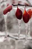 Icing rain on plant branch — Stockfoto