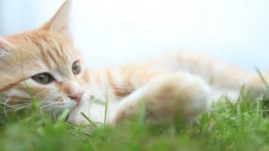 Gato vermelho pequeno, deitado na grama verde — Vídeo Stock