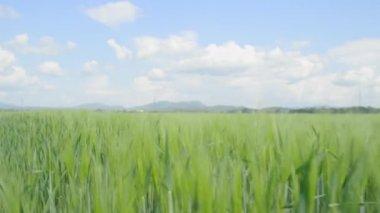 Wheat field swaying — Stock Video