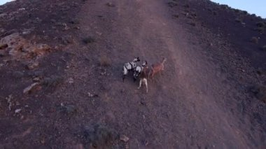 Goats in Fuerteventura Island — Video Stock