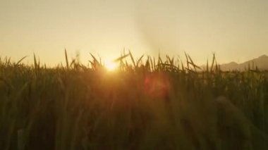 Sun shining through the wheat leaves — Stock Video