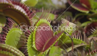 Spider falls in carnivorous plant — Stock Video