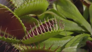 Grasshopper gets caught in carnivorous snap trap plant — 图库视频影像