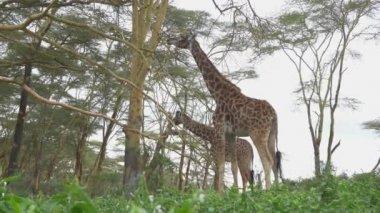 Tall giraffes eating leaves — Video Stock