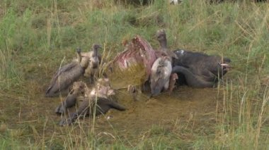Vultures feeding on buffalo carcass — Stock Video