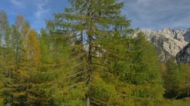 Flying over lush larch tree — Stock Video
