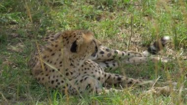 Cheetah lying in a shade — Stock Video