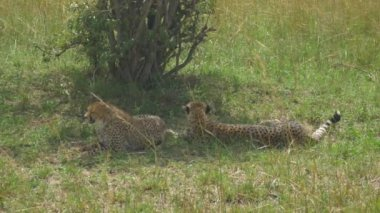 Cheetahs lying in a shade — Stock Video