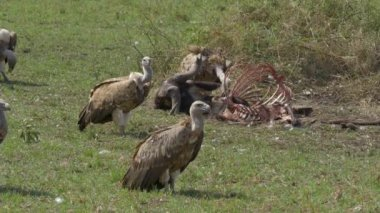 Vultures eating the flesh of buffalo carcass — Stock Video