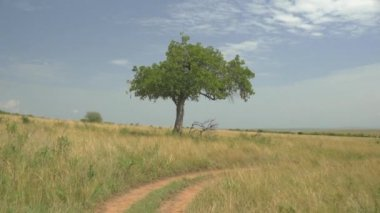 Solitaire tree in African safari — Stock Video